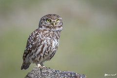 _DSC3251-01-ps (vilaramon) Tags: chevêchedathéna athenenoctua littleowl strigiformes strigidés