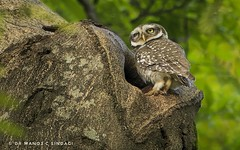 A Spotted Owlet on vigil, at its nest hollow. (MCSindagi) Tags: sonycybershot sonyrx10iv sonyrx10mk4 rx10iv rx10m4 rx10 spottedowlet nest athenebrama bangalore bengaluru karnataka telephoto