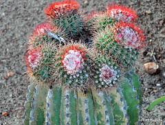 DSC_0673 (RachidH) Tags: flowers blooms blossoms cactus cactii thorns thornyplants succulents meloncactus melocactus turkscapcactus têteàlanglais siègedebellemère carribean westindies antilles meadsbay anguilla rachidh nature