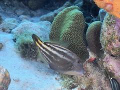 Bonaire diving 2018 (Valerie Hukalo) Tags: filefish patrickhukalo diving plongée underwaterphotography photographiesousmarine buddysreef hukalo bonaire antilles caraïbes paysbas buddydiveresort