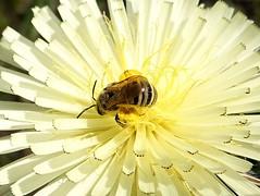 Honeybee at work (Carandoom) Tags: macro close up bee honeybee work flower sony rx10 m4