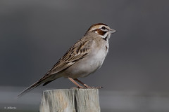 Lark Sparrow / Bruant à joues marron (shimmer5641) Tags: chondestesgrammacus larksparrow bruantàjouesmarron gorriónarlequín passerellidaefamily songbird sparrow birdsofbritishcolumbia birdsofnorthamerica