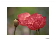 Flores de papel (E. Pardo) Tags: flores blumen flowers colores colors farben amapolas mohnblumen poppys luz licht light primavera spring frühling admont steiermark austria