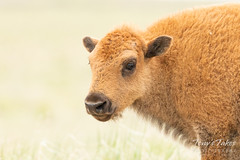 Bison calf up close and personal