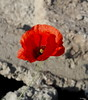 Living and dead (vorotnik1) Tags: poppy nature live alive colors contrast