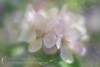 Apple Blossom (Sylvia Slavin ARPS (woodelf)) Tags: spring springtime orchard apple blossom flowers delicate pastel seasons ethereal lensbaby