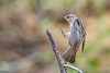 Spotted flycatcher (Dave 5533) Tags: songbird muscicapastriata spottedflycatcher bird wild nature outdoor animal canon1dx canoneos1dx canonef300mmf28 naturephotography wildlifephotography birdwatching canon300mmf28 animalplanet eiap damn10 coth5 coth sunrays5