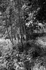 Trees a (martin.bruntnell) Tags: trees towpath stourbridge bw