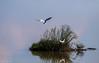Il volo della liberta' (Danilo Agnaioli) Tags: comacchio canon7dmarkii sigma30028 natura acqua primavera uccelli bird