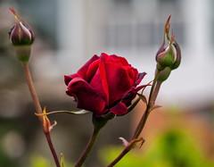 Rosa-_5110012 (peruchojr) Tags: flor planta rosa
