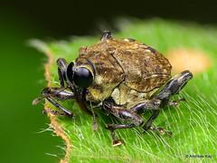 Weevil, Piazurus sp., Curculionidae (Ecuador Megadiverso) Tags: andreaskay beetle coleoptera conoderinae curculionidae ecuador focusstack idbyhenryhespenheide piazurussp weevil