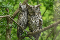 Eastern Screech Owls (aj4095) Tags: screech owl eastern bird nature wildlife spring ontario canada