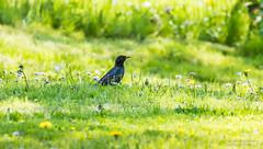"""""""Toidujahil !"""" #kuldnokk #lind #muru #õied #kevad #loodus #canon (Igor """"Ixa"""" Nael) Tags: kuldnokk sturnusvulgaris lind bird muru aed nature wild"""