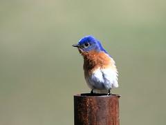 Merle bleu de l'est (Marie-Helene Levesque) Tags: oiseau abitibi valdor stedmond merle merlebleudelest mariehélène mariehelene