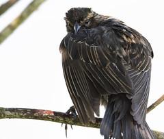 Transylvanian Blackbird (TW Olympia) Tags: red winged blackbird ridgefield national wildlife refuge vampire dracula