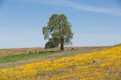 815A1735 Lone oak tree (hobbitcamera) Tags: northtablemountainecologicalreserve tabletopmountain northtablemountainecologicalreservetabletopmountain oroville orovillecalifornia wildflowers flowers hiking colorfulflowers buttecounty tabletopmtn oaktree