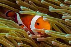 """Hiding Clownfish • <a style=""""font-size:0.8em;"""" href=""""http://www.flickr.com/photos/126602711@N06/41658799892/"""" target=""""_blank"""">View on Flickr</a>"""