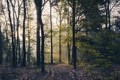 golden light (Jos Mecklenfeld) Tags: forest wald bos hiking wandern wandelen nature natur natuur roelagebos sonya6000 sonyilce6000 minoltamdwrokkor35mmf28 minoltamd minoltalens minolta fujifortiasp terapel groningen netherlands nl