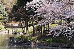 20180427_06_spring SNAP (foxfoto_archives) Tags: sdquattro sdq foveon ライトバズーカ 桜 サクラ さくら spring snap 春 スナップ cherry blossoms japan chiba 日本 千葉