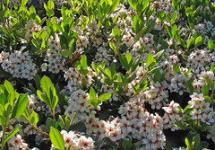 Rhaphiolepis indica, Indian Hawthorn, Hong Kong hawthorn, 春花 (AlfredSin) Tags: rhaphiolepisindica 春花 alfredsin australianflowers australianplants indianhawthorn hongkonghawthorn