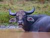 Sri Lanka '17_0804 (Jimmy Vangenechten 76) Tags: geo:lat=842095350 geo:lon=8001059200 geotagged srilanka ceylon asia azië indianocean indische oceaanwildlifeanimaldierwilpattu national park wild buffalo bathing water bubalusarnee