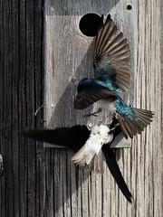 Bataille territoriale (Jacques Sauvé) Tags: bataille territoriale hirondelle bicolore tree swallow golondrina bicolor fight combat territorial