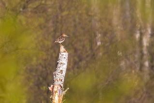 Perkūno oželis / Gallinago gallinago / Common Snipe