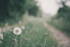 Along the path (pierfrancescacasadio) Tags: jenatessar aprile2017 29042018840a65562 50mm vintage manual manualfocus m42 vintagelens bokeh green dandelion dentedileone tarassaco flower alongthepath bubblebokehmasolounpò