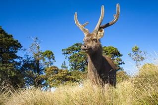 IMG_0351W Sambar deer, Sri Lanka