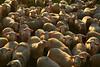 Troupeau du soir (Michel Seguret Thanks for 11,8 M views !!!) Tags: france michelseguret nikon d800 pro lot cuzance troupeau sheep brebis quercy