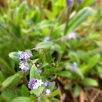 Field Forget-me-not thumbnail