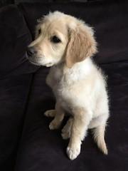 "Ten Week Old Daisy   Just After a Bath (steveartist) Tags: dogs puppies puppy comfortretriever animals mammals animalportraits ""daisy"" iphonese pets perros stevefrenkel petportrait"
