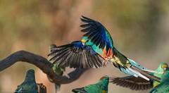 Mulga Parrot Psephotus varius (Mykel46) Tags: mulga parrot psephotus varius birds nature wildlife sony a7r3 a7rmk3 100400mm bif color blue green yellow red orange rainbow outside outdoor outdoors flight