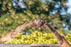 Les yeux dans les yeux ! (Mike Y. Gyver ( OFF a few days !!! )) Tags: pairidaiza 2015 owl hibou bird oiseau animal flight fly bokeh d90 dof dephtoffield