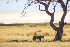 IMG_2624 (tregnier) Tags: namibia roadtrip africa travel desert animals sossusvlei leopard cheetah lion solitaire trip