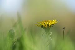 Dandelion beauty (mgreiersen) Tags: dandelion yellow flower green grass lawn closeup bokeh beautiful denmark canon eos70d weed wonderful amazinglight frühling löwenzahn dänemark schön smuk mælkebøtte danmark græsplæne grøn gul