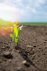 Sprouts of corn sprouts on the field (energy1.ru) Tags: corn sprout field young agriculture maize green soil plant seedling growing spring farming farm growth crop organic leaf rural new nature row biogas fresh dirt industry cultivation cultivated natural food land