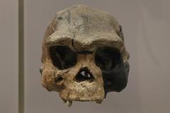 Homo erectus (Itinerant Wanderer) Tags: washingtondc smithsonian nationalmuseumofnaturalhistory