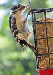 Downy Woodpecke (m) Picoides pubescens (611catbirds, too) Tags: birdnames downywoodpecker woodpecker bird birdwatching
