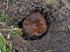 Just so cute...another Water Vole from last week (Scuba`Steve`) Tags: