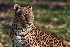 la panthère (rondoudou87) Tags: panthère panther panthera pentax k1 parcdureynou parc park reynou zoo portrait nature natur wildlife wild smcpda300mmf40edifsdm sauvage light lumière