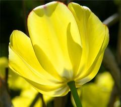 Sunny Yellow Tulip (Stanley Zimny (Thank You for 30 Million views)) Tags: flower bronx botanical garden ny macro yellow tulip sunny