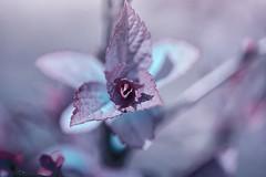 Jagged flower (victoriameyo) Tags: petals flora pattern abstract nature closeup edges sharp purple macromondays jagged macro