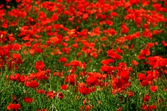 Primavera !! (ToniGutierrez) Tags: amapolas primavera