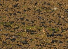 Short-eared owl / Asio flammeus / Velduil (Herman Bouman) Tags: shortearedowl asioflammeus velduil
