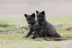 KDL_4259-Fox Pups (Crisp Image Photography) Tags: fox foxkit foxpup animal wildlife wildlifephotography nature naturephotography outdoorphotography nikon kevinlippe crispimagephotography