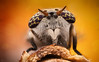 Deer Fly (Can Tunçer) Tags: can cantunçer cantuncer canon canon6d lomo lomo37 lomo37x tunçer turkey turkiye türkiye tuncer tabletop texture stack stacking studio stand macro makro macros micro macrophotography mikro makros microscope microscop mm orange