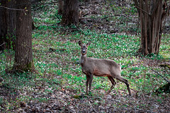 Deer (rwibring) Tags: deer forest woods stockholm sweden trees foliage leaves leaf spring nikon d7200 sigma 24105 animal wood grass tree park