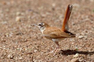 African Rufous-tailed Scrub Robin, Agrobate roux (Cercotrichas galactotes minor) - Zakouma National Park, CHAD