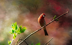 let there be light (Dotsy McCurly) Tags: nikond750 nikonafsnikkor200500mmf56eedvr bird male housefinch nature beautiful nj newjersey 7dwf fauna adobephotoshop texture
